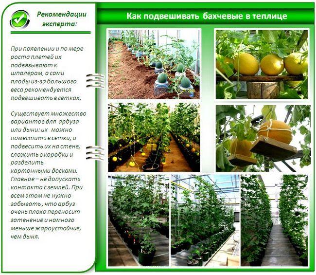 Выращивание арбузов и дынь в теплице: как вырастить красивые и вкусные бахчевые