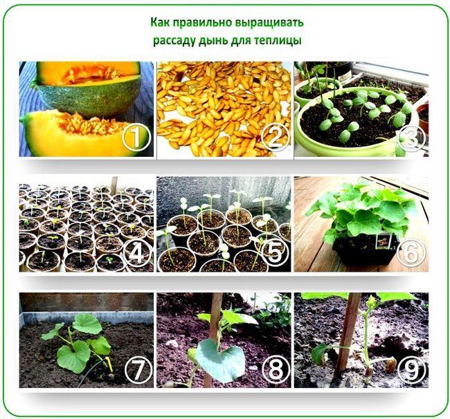 Как вырастить дыни в теплице