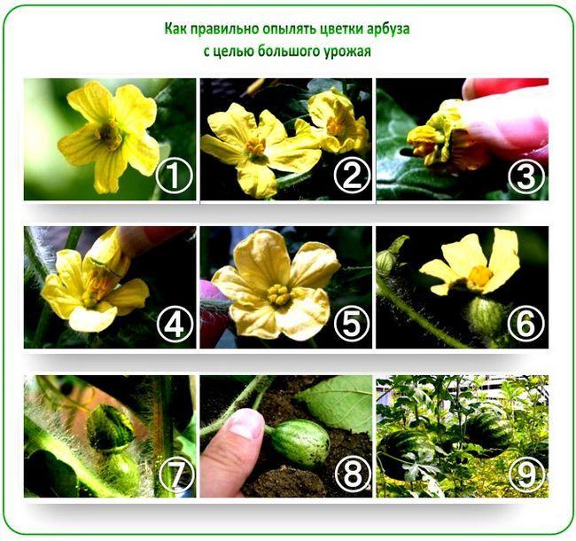 Как вырастить хороший урожай арбузов