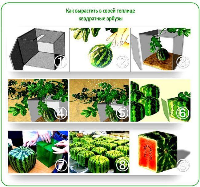 Как вырастить квадратные арбузы